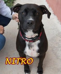 NITRO needs a home: Pit Bull Terrier Mix • Adult • Male • Medium Alpine Humane Society Alpine, TX