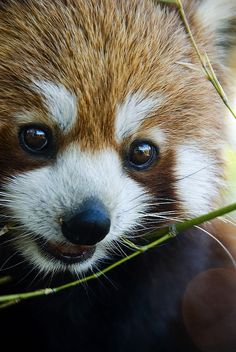 Sweet red panda. Look at that precious face!