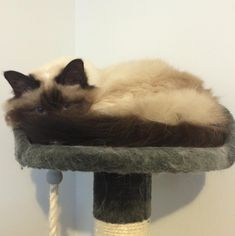 My burnt marshmallow being a pancake by mcfurrball cats kitten catsonweb cute adorable funny sleepy animals nature kitty cutie ca