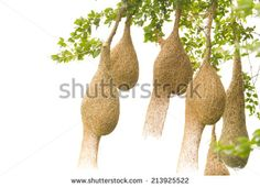 Stock Images similar to ID 34542526 - weaver bird nest hanging in ...