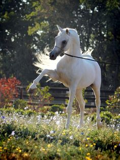 Al Adeed Al Shaqab 1995 Grey Straight Egyptian Stallion (Ansata Halim Shah x Sundar Alisayyah)