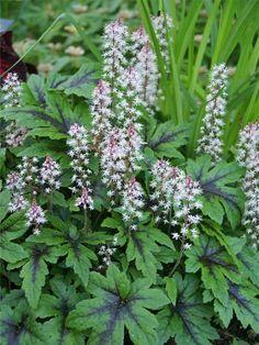 Tiarella Sugar And Spice -- Bluestone Perennials