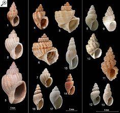 Family Cancellariidae 1. Cancellaria anxifer 2. Cancellaria granosa 3. Cancellaria undulata 4. Scalptia vinnulum 5 Trigonostoma laseroni 6. Trigonostoma tessellum 7. Bonellitia scobina 8. Gergovia exigua 9. Gergovia haswelli 10. Gergovia patricia 11. Gergovia recessa 12. Pepta stricta 13. Pepta simplex 14. Vercomaris pergradata 15. Tritonoharpa coxi 16. Africotriton carinapex 17. Zeadmete kulanda