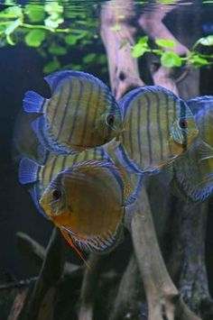 3deez's Tank: wild discus biotope