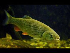 кормим голавля в аквариуме