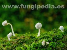 Mycena corynephora es un hongo del orden Tricholomatales también conocido como , Mycena harinosa... ver más información.