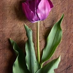 Add a pop of purple tulips to your flower beds. 'Negrita' is a classic with a sturdy stem that holds up to rain, perfect for planting in wet climates. This tulip is a triumph variety and grows to be 16 to 18 inches tall. Best Perennials, Hardy Perennials, Flowers Perennials, Shade Flowers, Lavender Flowers, Dahlia Flowers, Spring Flowers, Autumn Garden, Spring Garden