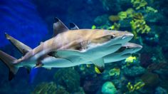 Blacktip reef shark - Aquarium Barcelona is an aquarium located in Port Vell, a harbor in Barcelona, Catalonia, Spain