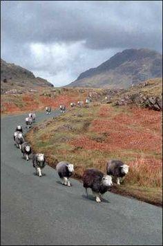 Herdwick sheep in Lake District                              …
