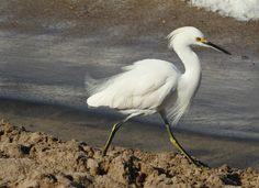 Snowy Egret; Puerto Vallarta