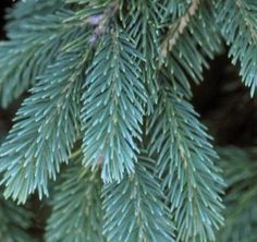 Black Hills Spruce - Plant Library - Pahl's Market - Apple Valley, MN