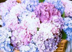 June Bloom – Hydrangea macrophylla | Allen's Blog - P. Allen Smith Garden Home