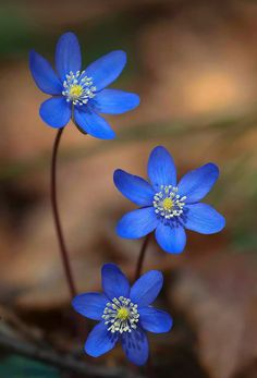 Great Pics Blue Flowers photography Tips Are you trying to keep a yard as part of your lawn? A person certainly goal rebuild spry and even more intere Flowers Nature, Exotic Flowers, Amazing Flowers, My Flower, Pretty Flowers, Wild Flowers, Bouquet Flowers, Alpine Flowers, Brown Flowers