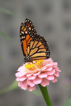 Stunning Monarch Butterfly! Resting on flower.