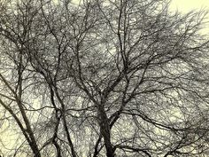 A large, sad and gloomy tree without leaves in winter in Michigan.