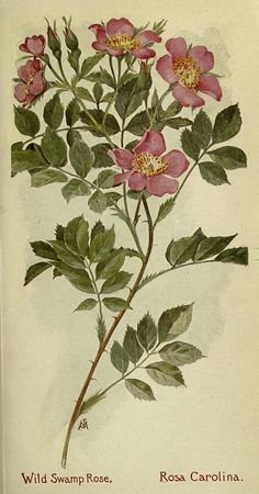 Wild Swamp Rose, Field book of American wild flowers, New York,Putnam,  [1912]