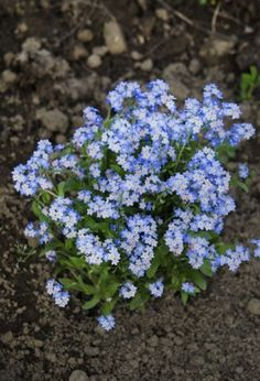 Forget-Me-Not Seed Planting: Best Time To Plant Forget-Me-Not Seeds - Planting forget-me-nots from seeds is rarely necessary because they are rampant self-seeders. If you want to introduce the plants to new territory, know when to plant forget-me-nots to Easy To Grow Flowers, Forget Me Nots Flowers, Growing Flowers, Planting Bulbs, Planting Seeds, Planting Flowers, Garden Seeds, Flowers Garden, Herbs Garden