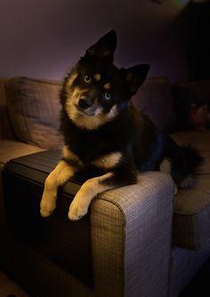 Pomsky, Cool Pets, Dogs, Animals, Pomsky Dog, Animales, Animaux, Pet Dogs, Doggies