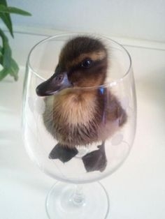 Ducky in a cuppy!