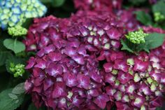 Hydrangea macrophylla 'Hot Red Violet'. Partial shade or full sund. Dark pinkish red flowers July and August. Crocus.