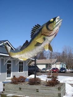 Giant Walleye in Isle, MN