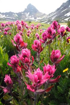 Portofolio Fotografi Pegunungan - ❥ Wetterhorn Paintbrush~ San Juan Mountains, Colorado  #MOUNTAINSPHOTOGRAPHY
