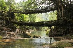 Living root bridges, Nongriat village, Meghalaya2 - Meghalaya - Wikipedia Ficus Elastica, Thomas Jefferson, Beautiful Places To Visit, Cool Places To Visit, Best Places To Honeymoon, Old Bridges, Shillong, Northeast India, Mysterious Places