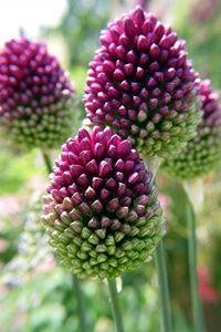 plants I like - Drumstick Allium (Allium sphaerocephalon) Allium Sphaerocephalon, Exotic Flowers, Amazing Flowers, Purple Flowers, Beautiful Flowers, Beautiful Gorgeous, Colorful Roses, Wild Onions, Dream Garden