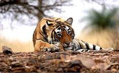 Image result for ranthambore tiger reserve