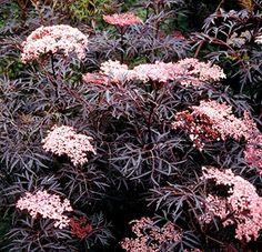Black Lace TM Elderberry - Sambucus - NEW - HARDY -Proven... https://www.amazon.com/dp/B00185S9YA/ref=cm_sw_r_pi_dp_x_vJJZybVBFD0HV