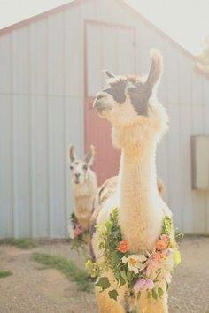These fancy alpacas (or llamas? Funny Llama, Cute Llama, Llama Llama, Cartoon Llama, Baby Llama, Llama Face, Farm Animals, Animals And Pets, Funny Animals
