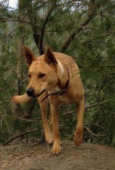 Sar-Bear's ancestors. A Carolina dog.