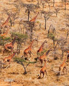 Aerial view of Giraffe in Kenya. See more International stock photography at . Hawaiian Woman, Natural Remedies For Arthritis, Aerial Photography, Aerial View, Real People, Spirit Animal, Kenya, Mammals, Wildlife