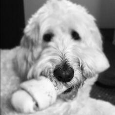 My sisters GoldenDoodle Daisy:)