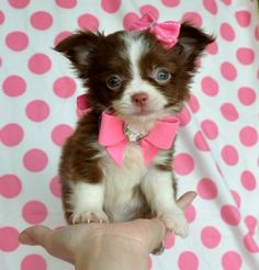 Tiny Teacup Chihuahua love it! She's so cute! I want it so bad I'd be the happiest person in the world! This is all I want for Christmas so bad!