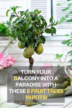 Turn Your Balcony Into a Paradise With These 8 Fruit Trees In Pots! Turn Your Balcony Into a Paradise With These 8 Fruit Trees In Pots! The post Turn Your Balcony Into a Paradise With These 8 Fruit Trees In Pots! appeared first on Garden Ideas. Potted Fruit Trees, Fruit Trees In Containers, Fruit Tree Garden, Dwarf Fruit Trees, Citrus Trees, Garden Trees, Trees In Pots, Growing Fruit Trees, Patio Trees
