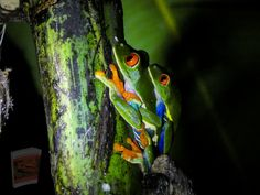 Hd Images, Free Images, Frog Eye, Frog Frog, Red Eyed Tree Frog, Frog Pictures, Tree Frogs, Image Collection, Restoration