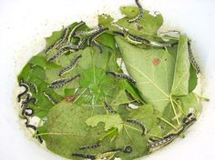 The Catalpa Tree and Its Caterpillars: Fishing with Catalpa Worms