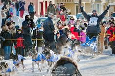 Photo of Lance Mackey, the 2009 Champion, arrives in the Nome finish chute as spectators cheer him on during the 2009 Iditarod