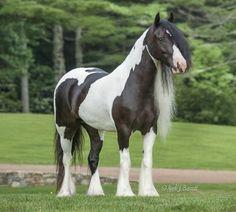 WR Briella, 2009 Gypsy Vanner Horse mare