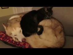 오늘의유머 - (펌) 허스키를 쿠션으로 사용하는 고양이