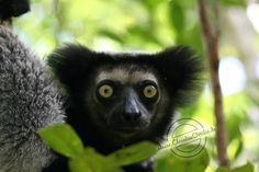 Madagascar Indri