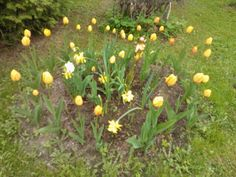 Yellow tulips and daffodils