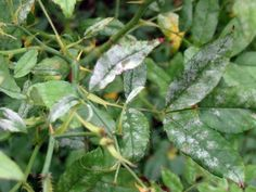 Photos of Powdery Mildew and other diseases, from GardenWeb, credit Jean TN Rose Diseases, Powdery Mildew, Antique Roses, Save Her, Plant Leaves, Advice, Garden, Plants, Photos