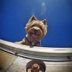 """chilliandaki: """"Hello down there! ❤️ #chillithecairn #chillidog #cairnterrier #siraussie #gopro #besomedoggy #gopropaws #gopropets #cairnsofinstagram #cairnstagram #terrier #doggyvibes """""""