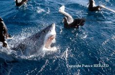 Le Grand Requin Blanc | Le blog du photographe Patrice HERAUD