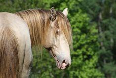 Teitinger, silver champagne rocky mountain horse stallion.    /Pretty EL./