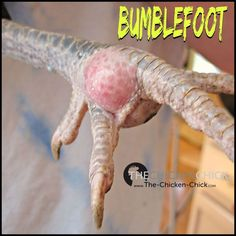 Bumblefoot results when the skin of the foot is compromised in some way, allowing bacteria to invade the foot, causing infection. Broken skin allows bacteria (e.g.: staphylococcus) to get inside the foot, which leads to a pus-filled abscess.