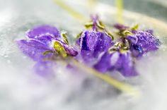 Mein Fotoblog: Blüten in Eis