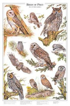 Owls ~ Identification Chart